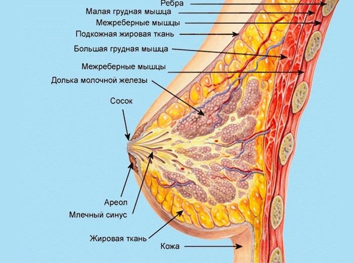 строение груди и молочные железы