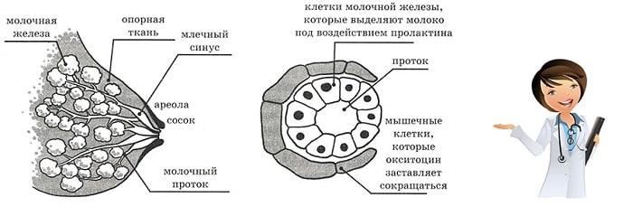 строение груди при лактации